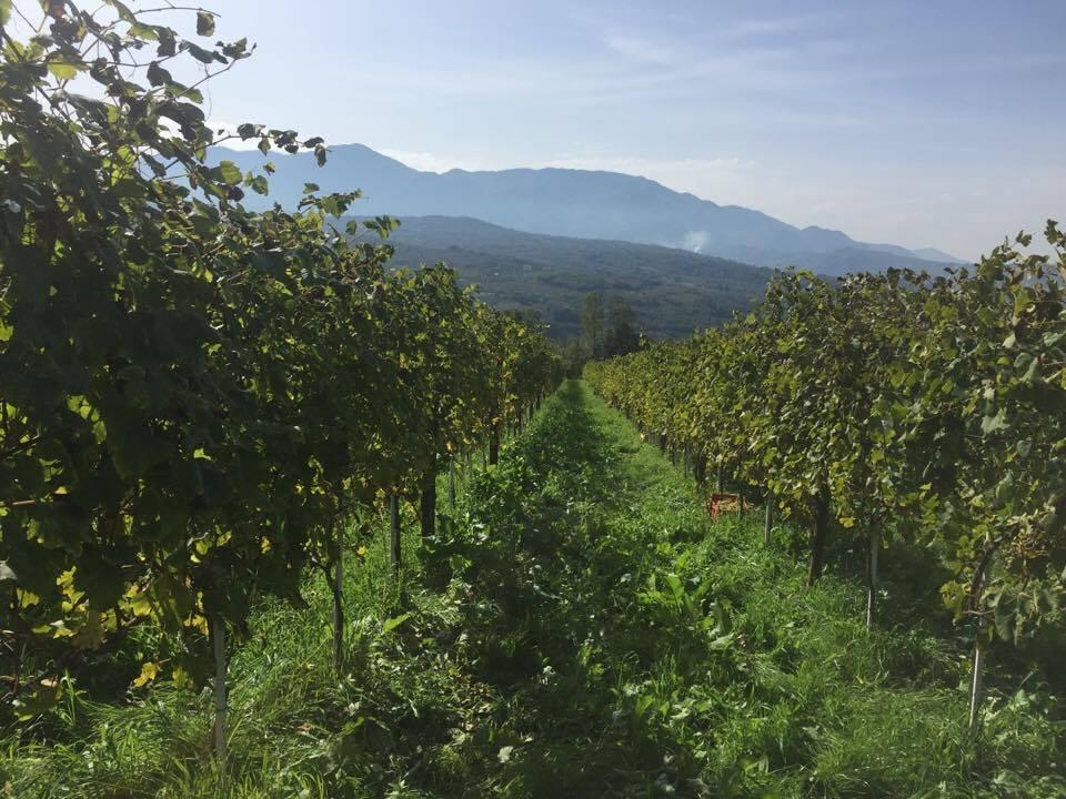 vineyard in Tufo