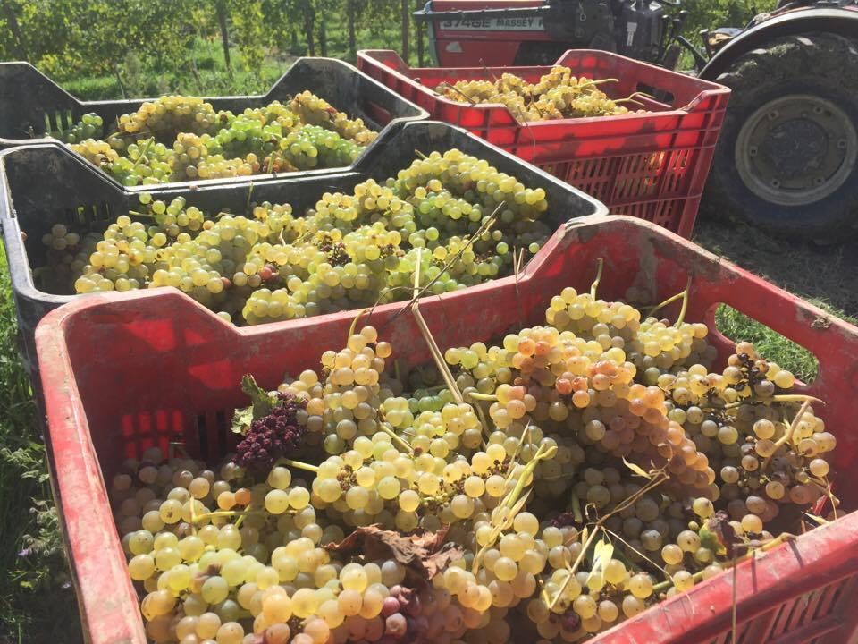 greco di tufo harvest
