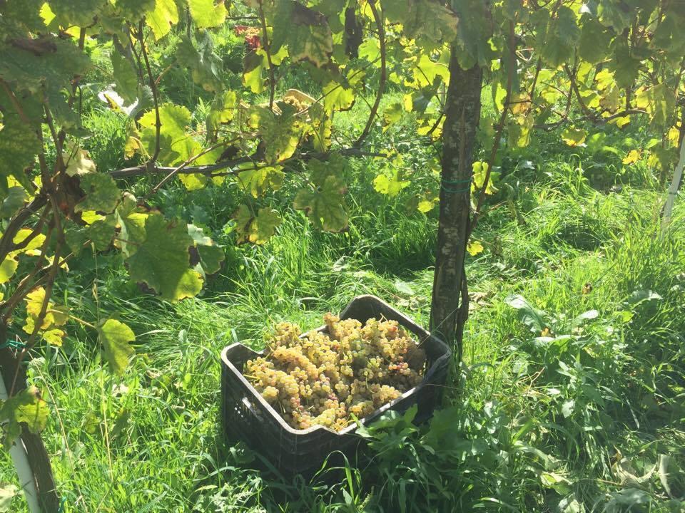greco grape