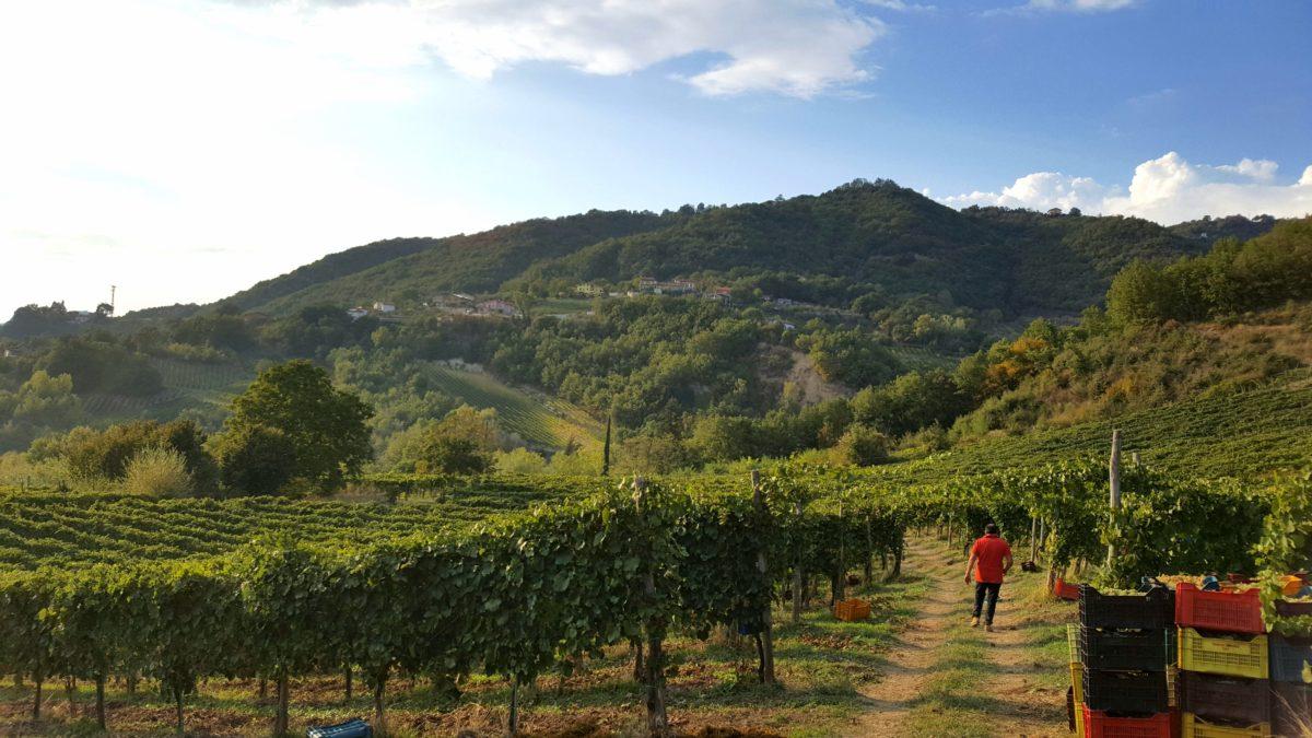 Laure Vineyard during the harvest