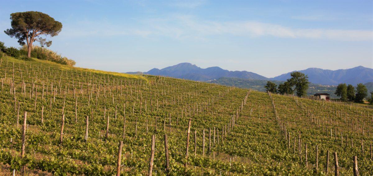 View of Ortale Vineyard in Tufo