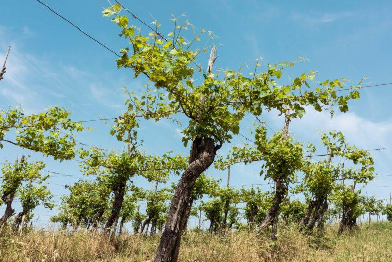 antiche viti di Greco di Tufo nella Vigna Serrone